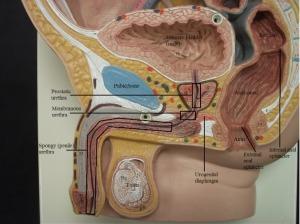urethra.image